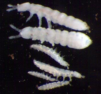 Disse tre artene av hvite spretthaler mangler hoppegaffel, har korte antenner, mangler øyne og lever nede i selve jorda. De er funnet i jord under kløvereng på Tingvoll gard, Nordmøre. De to øverste er Protaphorura armata (lengde 1,8 mm), de to i midten er Stenaphorura lubbocki (lengde 1,0 mm) og de to nederste er Mesaphorura macrochaeta (lengde 0,7 mm). Navnet «aphorura» betyr «uten hale». Foto: Reidun Pommeresche