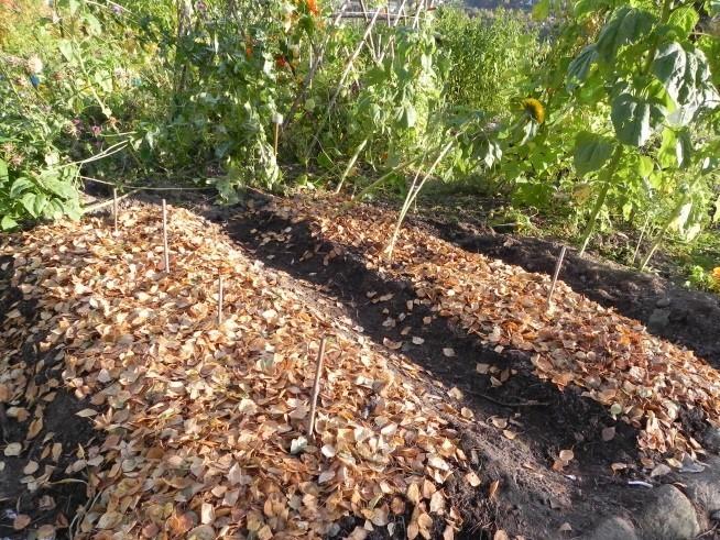 Avlingsrester og løv egner seg godt som vinterdyne for jordorganismene. Foto: Kirsty McKinnon
