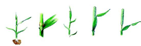 Frå venstre:  Blad, berre blad og forlenga bladslirer Stengelstrekning. Minst eit synleg kneledd på minst 50 prosent av plantane Begynnande skyting. Ein del av akset er synleg på minst 10 prosent av skota. Skyting. Halve akset er synleg over flaggbladet på minst 50 prosent av skota. Full skyting. Ein del av det aksberande strået er synleg mellom flaggbladet og akset på minst 50 prosent av skota