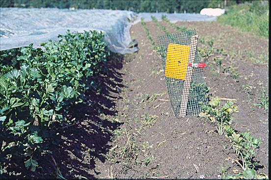 Gule limfeller kan enkelt registrere når det er fare for angrep av gurotflue i ulike skjermplanter. Finner man flua i limfella, må nett legges på raskt. Selleriplantene til venstre har vært dekt med insektnett. Plantene til høyre har ikke hatt nett over seg. Her har gulrotflua lagt egg og larvene har etterhvert ødelagt rota fullstendig. . Foto: Kari Bysveen