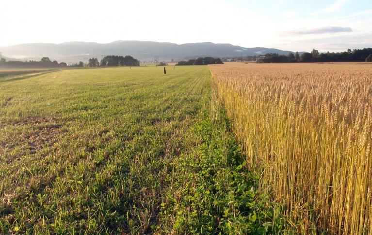 Et godt vekstskifte er grunnleggende i økologisk korndyrking. . Foto: Silja Valand