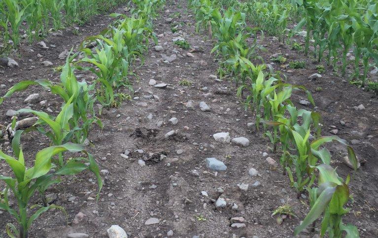 Maisplanter brukt i forsøkene. Foto: Julie Wiik, NLR Viken