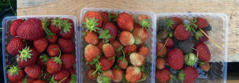 Friske jordbær til venstre, bær med gråskimmel til høgre. Foto: Atle Wibe