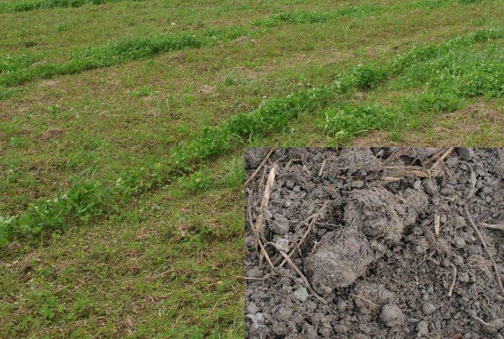 Overflatekompostert grønnmasse av raigras og kvitkløver som i fjor var underkultur i grønnfor. Melkesyrebakteriene i fermentet liker godt stivelsen i grønnmassen og kvekerøttene. Rester av kvekerøttene var brune som ensilasje (nærbilde). To uker med regn hadde gjort at de ikke hadde fått sådd enda, det skulle freses grunt en gang til før såing av korn med underkultur. Man ser også tydelig at der fresen ikke har overlappet godt nok, er det planter i god vekst. Foto: NORSØK