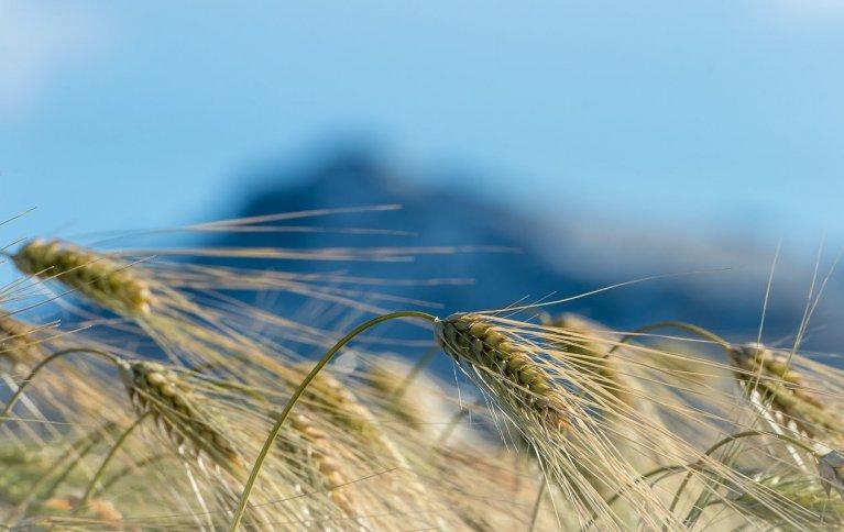 Modent korn klart for høsting. Foto: Debio