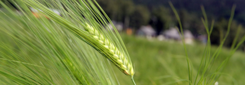 En sveitsisk studie over 15 år viser at redusert jordbearbeiding gir økt jordkvalitet, bl.a i form av mer jordkarbon og mer mikrobiell biomasse. Foto: Anita Land