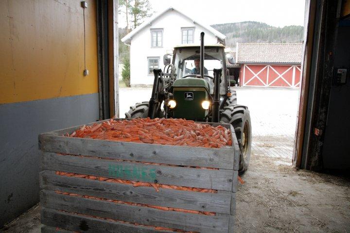 Hver dag henter Hans Kristian Teien et par kasser med kasserte grønnsaker som han gir til kyrne. Betalinga for dette er fast gjødsel som naboen Erik Rosnes bruker på grønnsakene. Foto: Anita Land