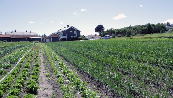 Utvalget av grønnsaker som dyrkes til andelsbøndene er stort. Foto: Anita Land