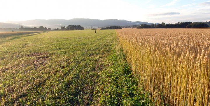 Et godt vekstskifte er grunnleggende i økologisk korndyrking. Foto: Silja Valand