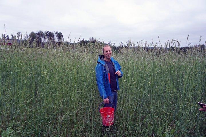 Her har svedjerugen slått godt til, og kveka sliter selv uten pløying (Tor Helge Brandsæter på Fossnes gård). Foto: NORSØK