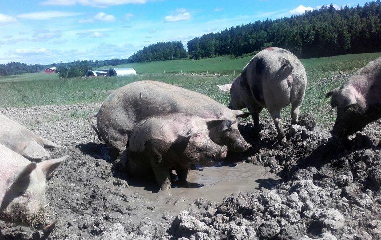 Grisene setter stor pris på å ha tilgang til gjørmebad. Foto: Maren Hothe