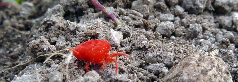 Rød fløyelsmidd, en prostigmat midd i slekten Trombidium. De voksne lever av insekter, spretthaler og ulike egg som de kommer over. Foto: Reidun Pommeresche