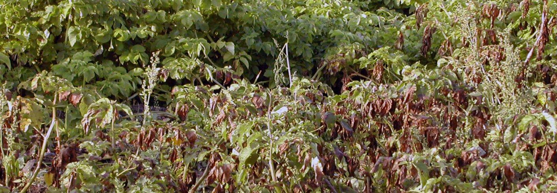 Potettørråte er den viktigste sjukdommen i potet i Norge og skyldes en sopplignende organisme som angriper både blad, stengler og knoller. . Foto: Teo Ruissen