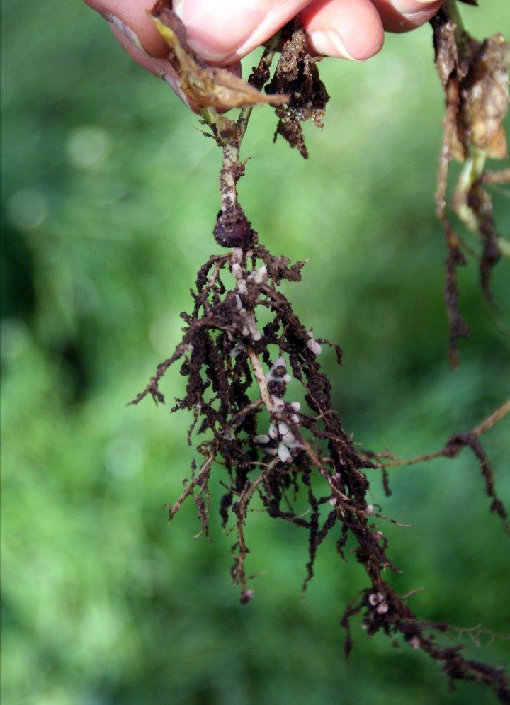Gryn på røttene viser at planta skiller ut roteksudater som bakterier liker. Her har dessuten planta og nitrogenfikserende bakterier oppretta sitt viktige samarbeid. Foto: Kari Bysveen