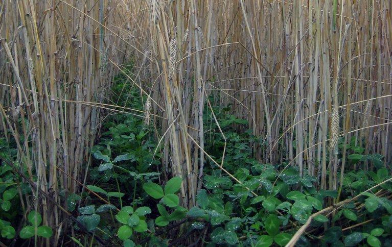 Undersådd kløver i korn. Foto: Liv Birkeland