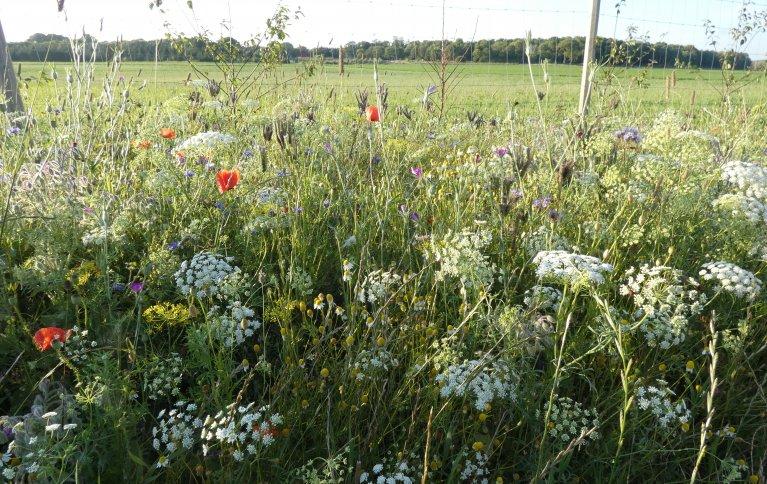 MOT SKADEDYR OG FOR POLLINERING: Blomsterstriper kan bidra til bedre avlinger. Foto: Jon Anders Stavang