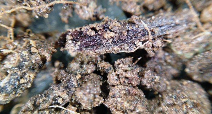 En synlig planterest (brun) med karbon i celleveggene under omdanning til andre former for organisk materiale i jord. Øverst til venstre og litt ellers ses noen rester etter planterøtter. Foto: Reidun Pommeresche