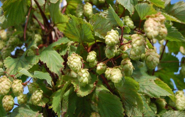 TRADISJONSPLANTE: Humle har vært brukt til ølbrygging og som medisinplante siden vikingtiden. Foto: NIBIO