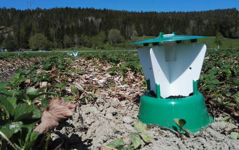 Prosjektet Softpest Multitrap arbeider med å utviklet insektfeller med en kombinasjon av duftstoffer som virker tiltrekkende på jordbærsnutebille og håret engtege i jordbær og jordbærsnutebille og bringebærbille i bringebær. . Foto: Atle Wibe