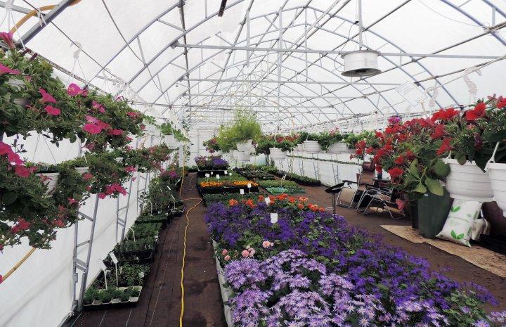 I mars flyttes staudene ut og plantene fra vekstrommet flyttes over til plastdrivhuset. Foto: Kirsty McKinnon