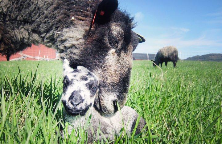 Sau og lam danner raskt sterke bånd etter fødselen. Foto: Juni Rosann Johanssen