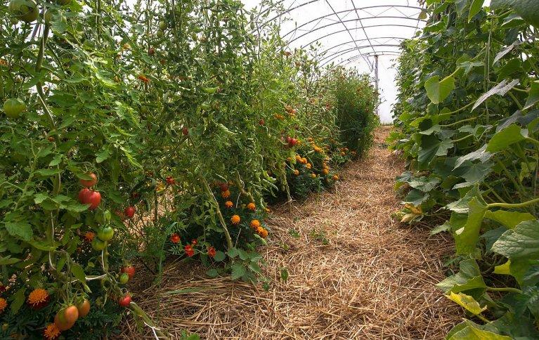 Tomatdyrking på Frilund gård, Bjørkelangen. Foto: Debio