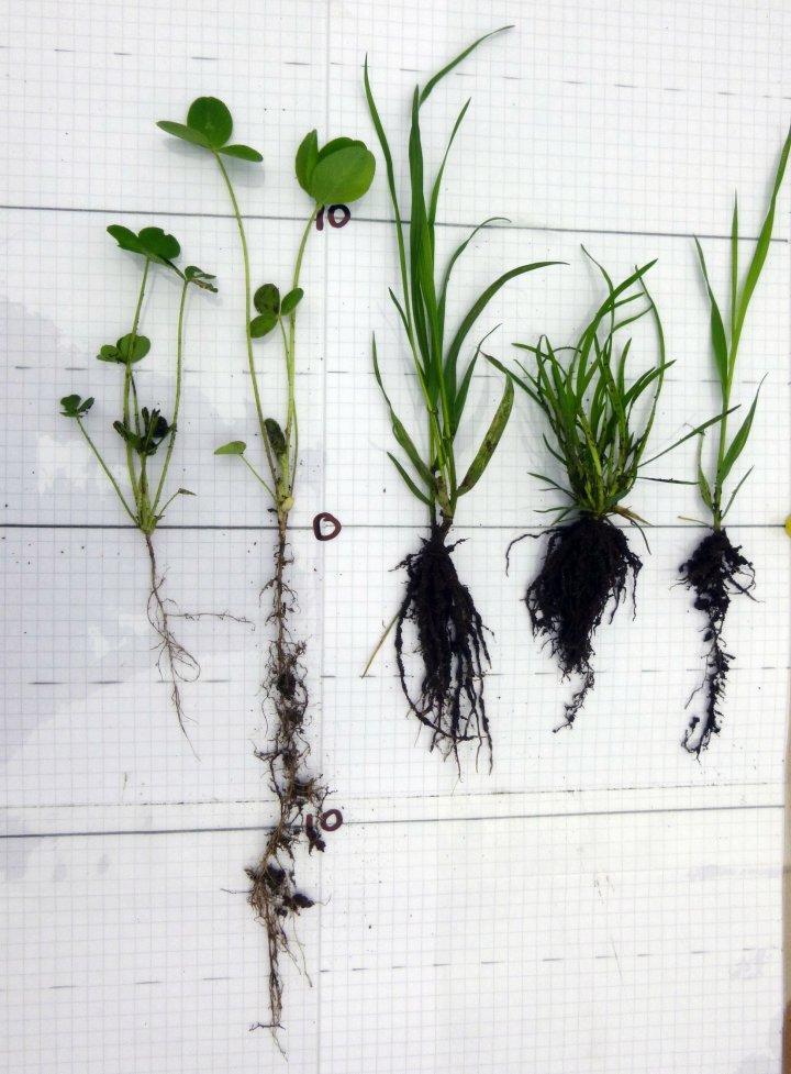 Sopprot (mykorrhiza) kan dannes i røttene til gras, korn, kløver og ulike urter. Hyfene til soppen er veldig tynne og nesten umulige å se. Foto: Reidun Pommeresche