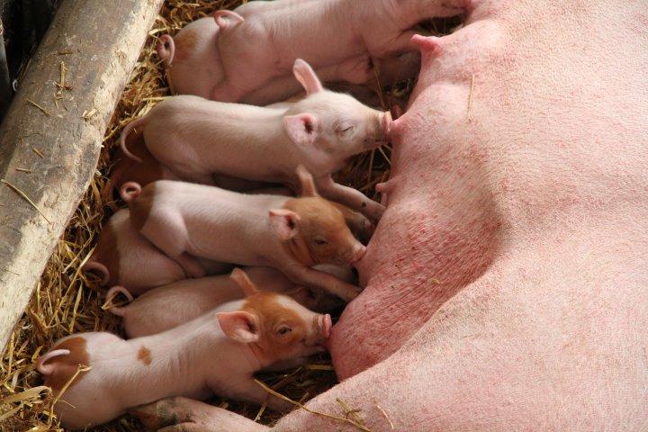 Ei purke med grisunger, det er viktig at ungene får i seg nok jern når de er små. Foto: Anita Land