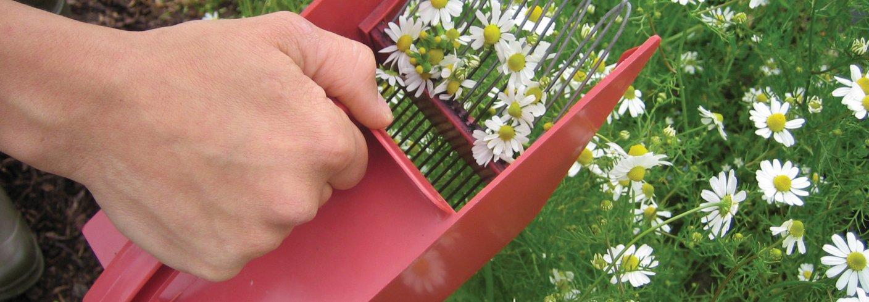Kamille kan høstes med bærplukker i kjøkkenhagen. Foto: Kirsty McKinnon