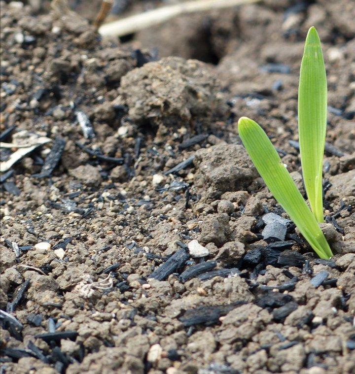 Kornspire i jord med tilsatt biokull. Foto: A. O'Toole
