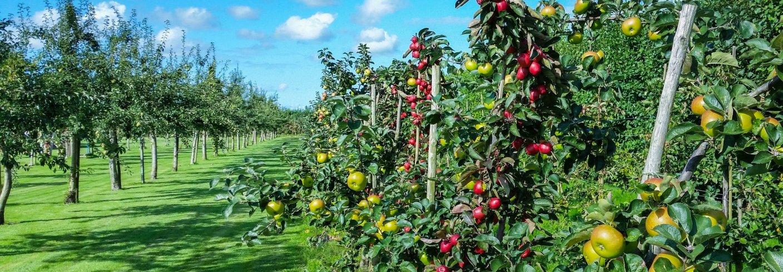 Frukthage klar for høsting . Foto: Skittlephoto