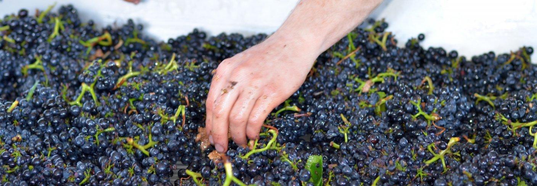 Biodynamiske produkter som druer kan ha større mengder gunstige stoffer som fenoler, askorbinsyre og gode fettsyrer i forhold til andre produkter. Foto: Stafano Lubiana