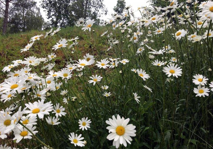 Mye av den blomstrende vegetasjonen finner de pollinerende insektene i kantarealene, jordekanter, kanter på små veier, kanter mot beiter og skog. Disse må skjøttes på en slik måte at vi beholder den blomstrende vegetasjonen. Foto: Anita Land