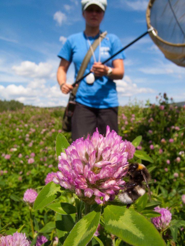 Forskere med øyne for naturens små vaktmestere, har sett på hvordan vi kan snu den farlige utviklingen hvor stadig flere av pollinatorene dør. Foto: Foto: Sondre Dahle, NINA