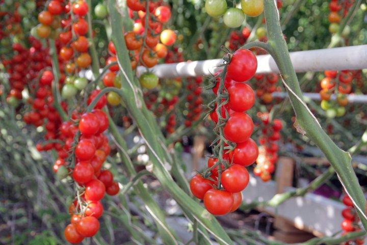 Cherrytomatene og plommetomatene fra Kjær Gartneri modnes på plantene og er svært søte og gode. Foto: Anita Land
