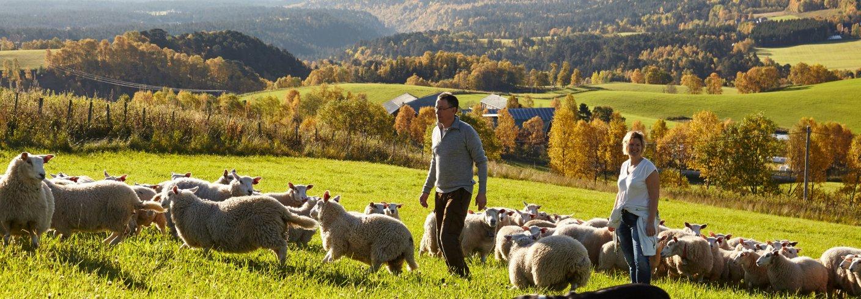 Godt høstbeite for lammene. Med Arnstein og Ingrid. Foto: Arnstein Enget
