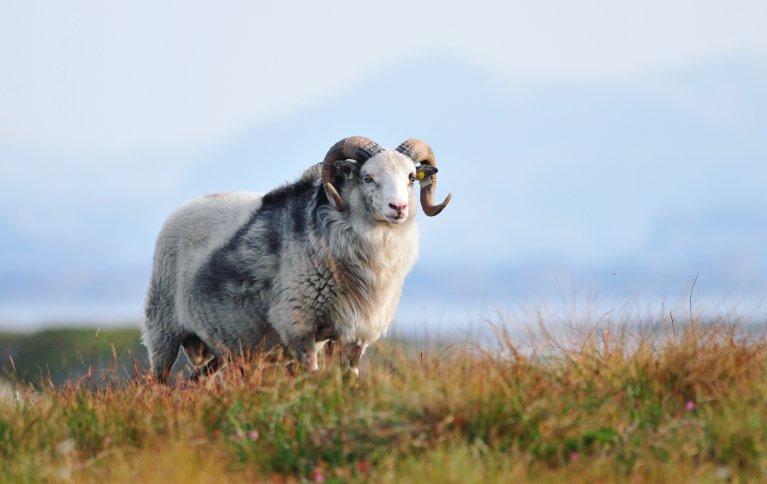 Det er dårlig ressursutnyttelse å ikke bruke den vakre og gode ulla fra de gamle sauerasene våre. Foto: Sørværet Villsau