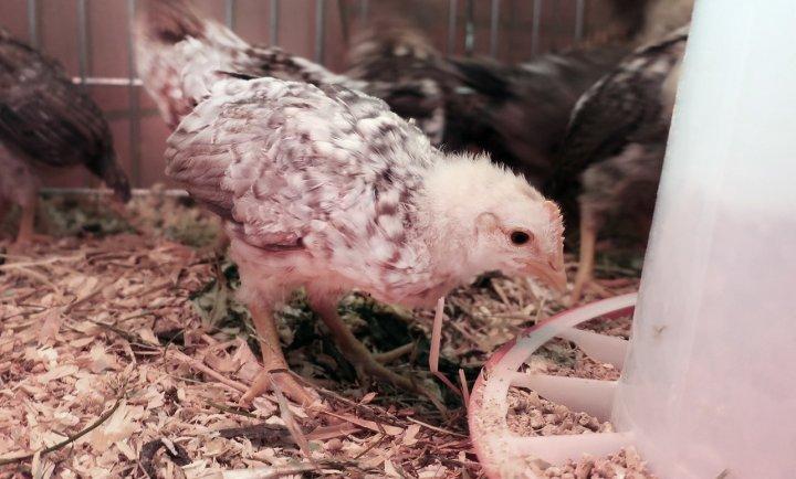 Jærhøns-kylling på tre uker som spiser kraftfôr. Foto: Juni Rosann E. Johanssen