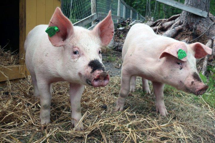 Det er naturlig for griser å bruke mye tid på å rote i jorda. Foto: Juni Rosann Johanssen