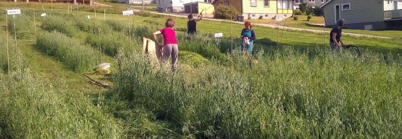 FORSØK MED HAVRE: Høsting av forsøksfelt med havre gjødslet med fiskebein, algefiber eller hønsegjødsel. (Foto: Anne-Kristin Løes)