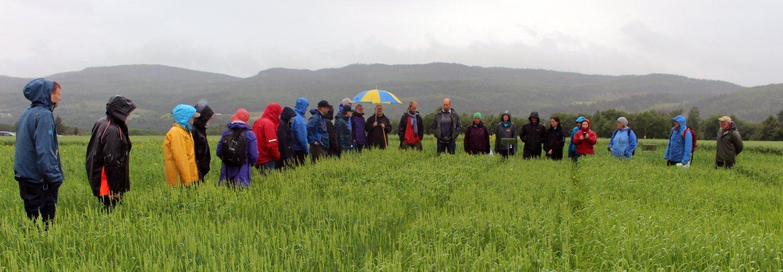 Målet for Graminor, NIBIO og NORSØK er å finne gode sorter av vårhvete egnet for økologisk dyrking av matmel i Trøndelag. Foto: Randi Berland