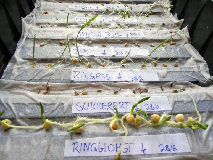 Det kan lønne seg å sjekke om gamle frø er spiredyktige. Ha fuktig papir i en boks, legg utover frø, ha på et lokk eller et dekke av plast for å bevare fuktigheten. Sett i romtemperatur. Etter ett eller to døgn begynner de raskeste artene å spire, for eksempel salat og kålvekster. Gulrot og persille trenger lengre tid, kanskje opp mot to uker. Foto: Kirsty McKinnon