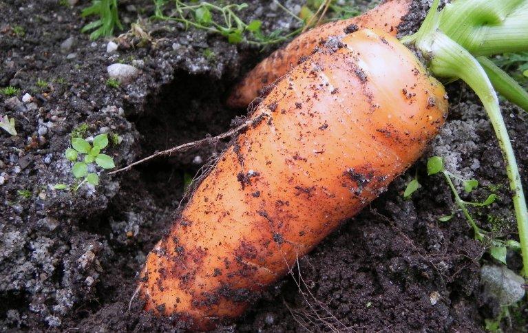 Håndhøsting gir mer fleksibilitet i dårlig vær, krever lavere investeringer og gir lavere lagerkostnader regnet per kilo. God tilgang på arbeidskraft er dog en forutsetning. Foto: NORSØK