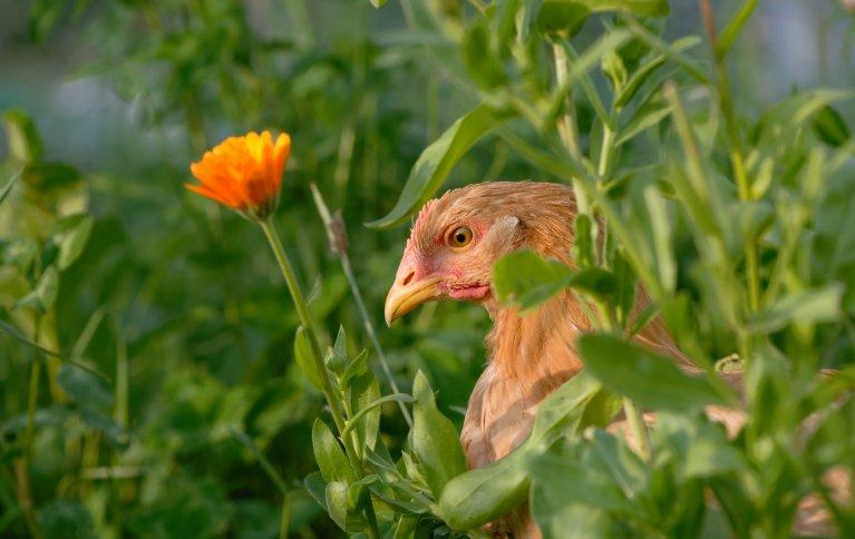 Kylling på uteområde med variert vegetasjon. Foto: Steffen Adler