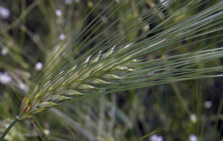 Seksradsbygg tåler generelt surere jord enn toradsbygg, men det er store sortsvariasjoner innen kornartene når det gjelder toleranse for både for sur og for kalkrik jord. Foto: Anita Land