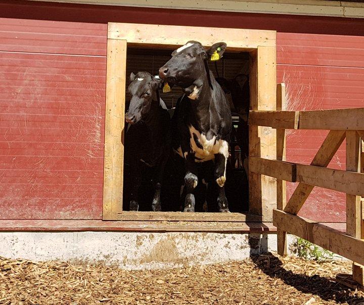 Kviger og kalver koser seg i sola. Er det for varmt, eller surt og kaldt, holder de seg innendørs . Foto: Rose Bergslid
