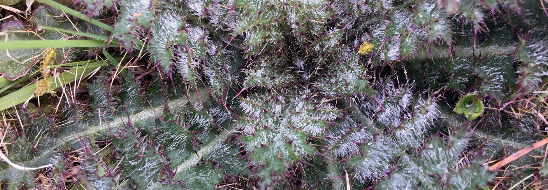 Ugras som tislel danner rosett på høsten, overvintrer og setter stengler og frø neste år. Det er mye å hente på å fjerne planter om høsten. Foto: Anita Land