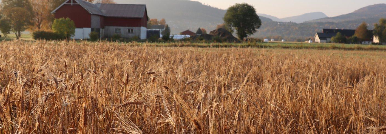 KROSSENSILERING: Egenprodusert kraftfôr kan bidra til at det produseres mer kjøtt og melk på norske ressurser. Foto: Vegard Botterli
