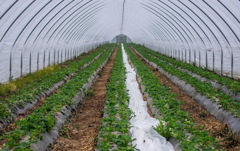 TUNELLDYRKING GIR FORUTSIGBARHET: Siden økologiske dyrkere er mer utsatt for skadegjørere kan tunelldyrking sikre avlingene i større grad. Foto: Pixabay