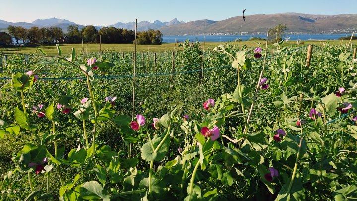 NIBIO sådde sommeren 2018 femti ulike sorter av erter i forsøksfelt i Tromsø. Dette er kun et lite utvalg av alle de gamle ertesortene som er tatt vare på i genbanken NordGen – Nordisk Genressurssenter. Foto: Ingunn Vågen